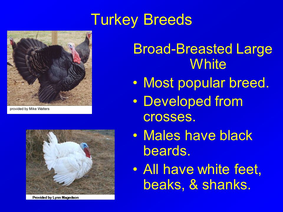 Turkey Breeds Broad-Breasted Large White Most popular breed.