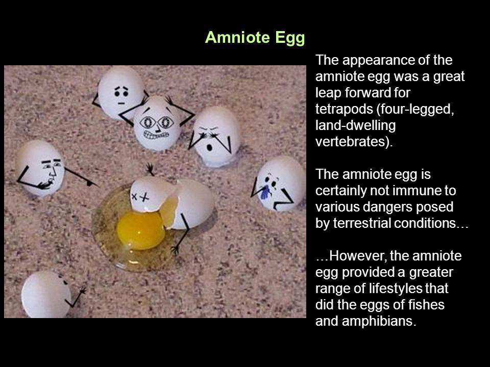 Amniote Egg The appearance of the amniote egg was a great leap forward for tetrapods (four-legged, land-dwelling vertebrates). The amniote egg is cert