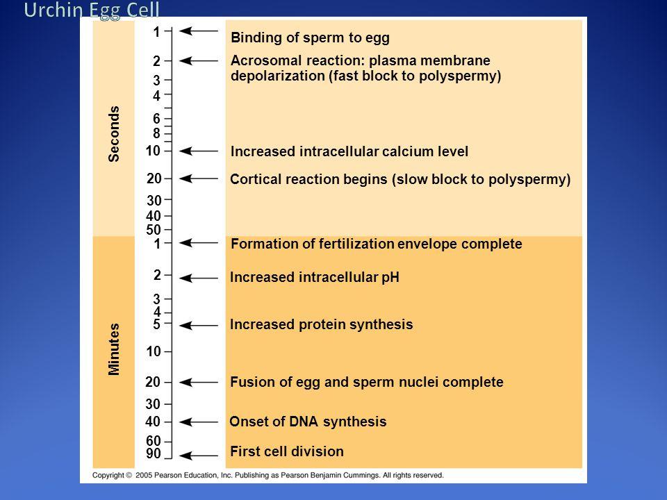 Binding of sperm to egg Acrosomal reaction: plasma membrane depolarization (fast block to polyspermy) Increased intracellular calcium level Cortical r