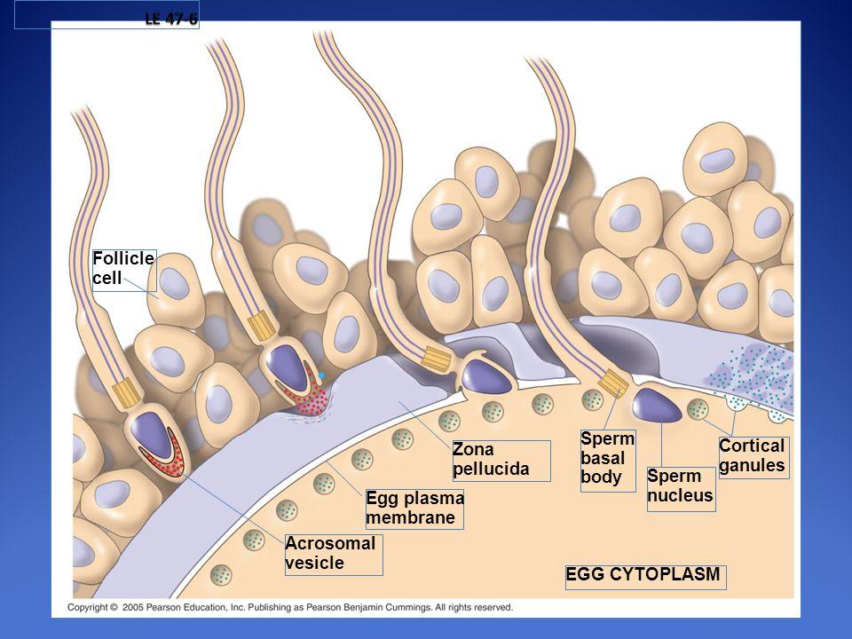 Follicle cell Acrosomal vesicle Egg plasma membrane Zona pellucida Sperm nucleus Cortical ganules Sperm basal body EGG CYTOPLASM