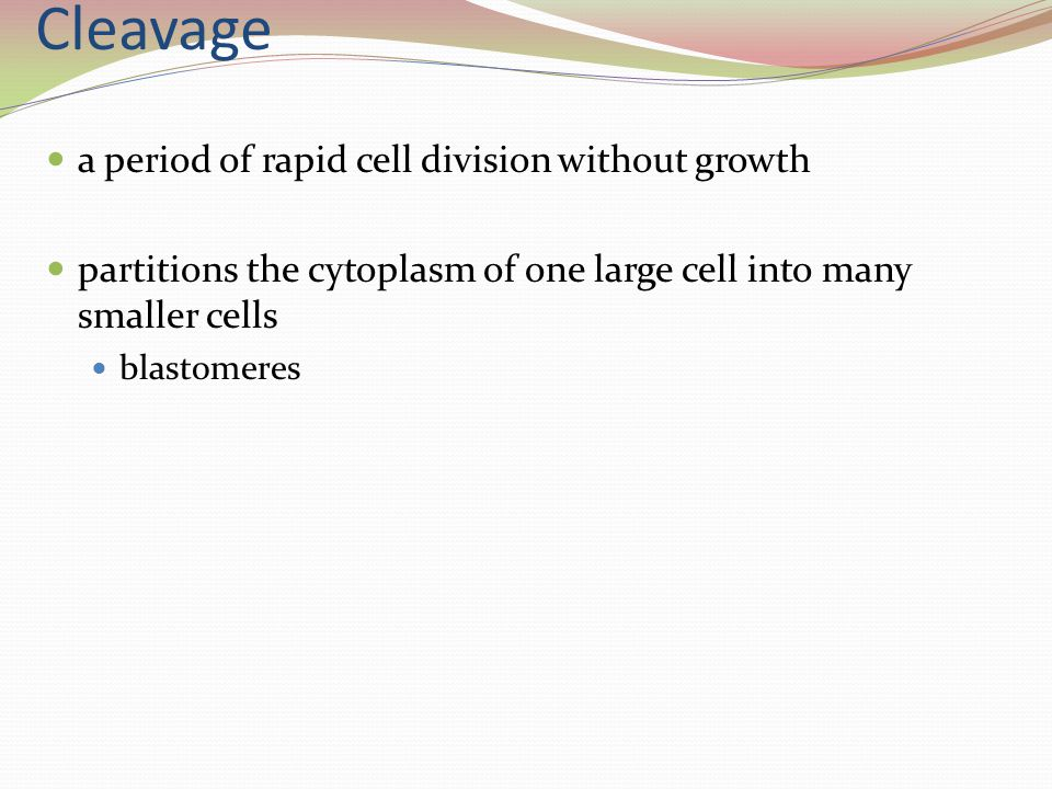 Cleavage a period of rapid cell division without growth partitions the cytoplasm of one large cell into many smaller cells blastomeres