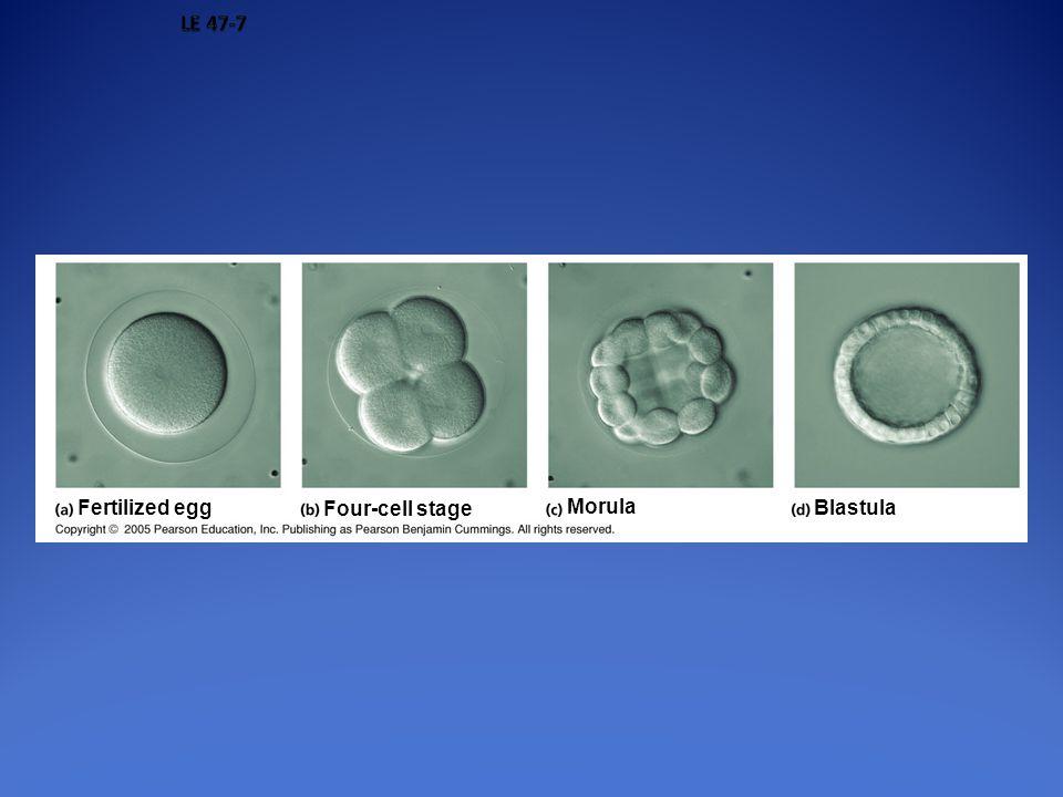 Fertilized egg Four-cell stage Morula Blastula