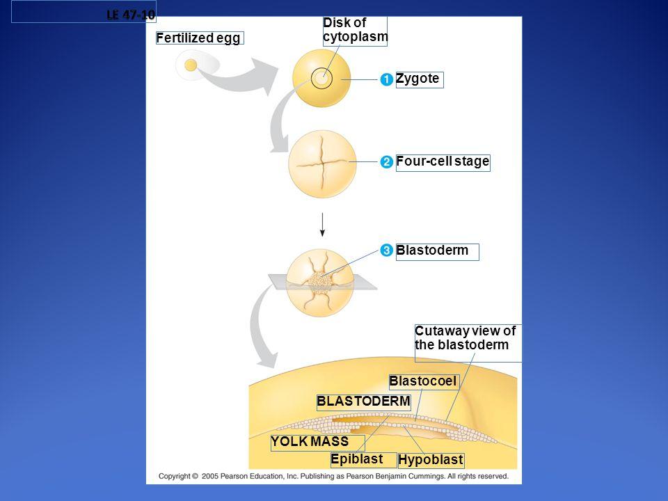 Blastocoel Fertilized egg BLASTODERM Hypoblast Epiblast YOLK MASS Cutaway view of the blastoderm Blastoderm Four-cell stage Zygote Disk of cytoplasm