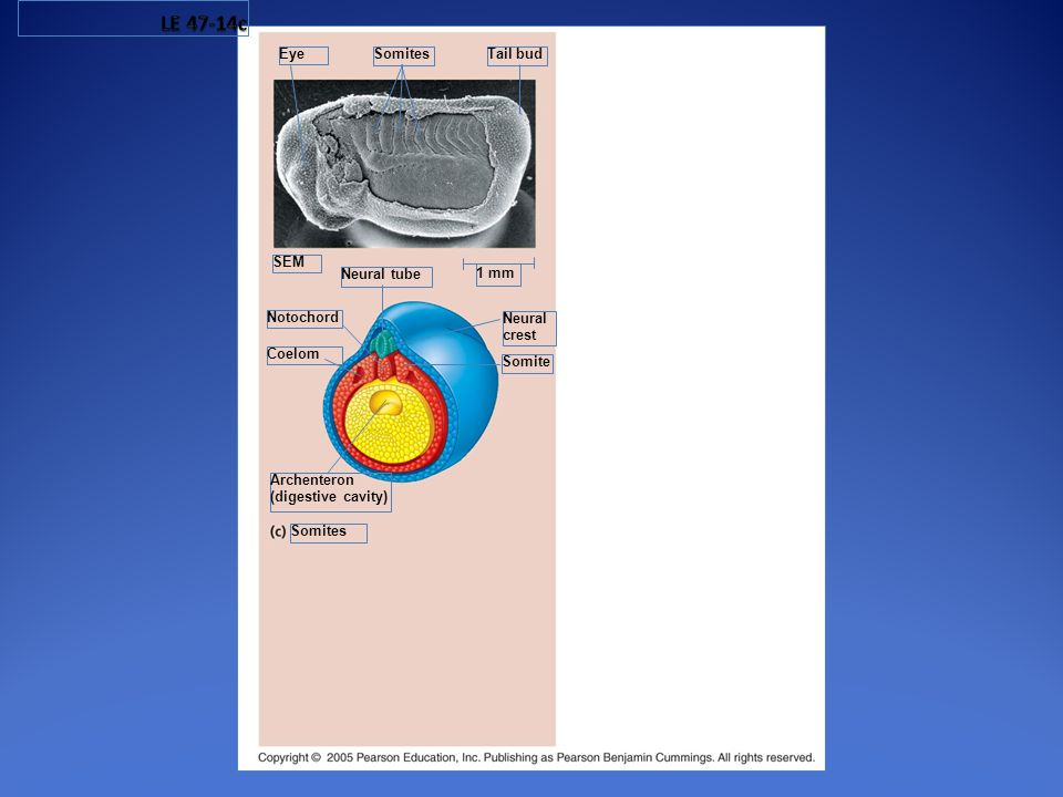 1 mm Notochord Archenteron (digestive cavity) Neural tube Neural crest Eye Somites Tail bud SEM Coelom Somite Somites