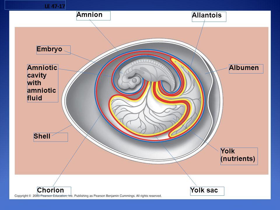 Embryo Amniotic cavity with amniotic fluid Allantois Amnion Albumen Yolk (nutrients) Yolk sac Chorion Shell