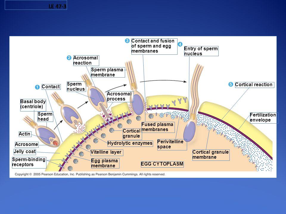 Sperm-binding receptors Jelly coat Acrosome Actin Sperm head Basal body (centriole) Sperm plasma membrane Sperm nucleus Contact Acrosomal reaction Acr
