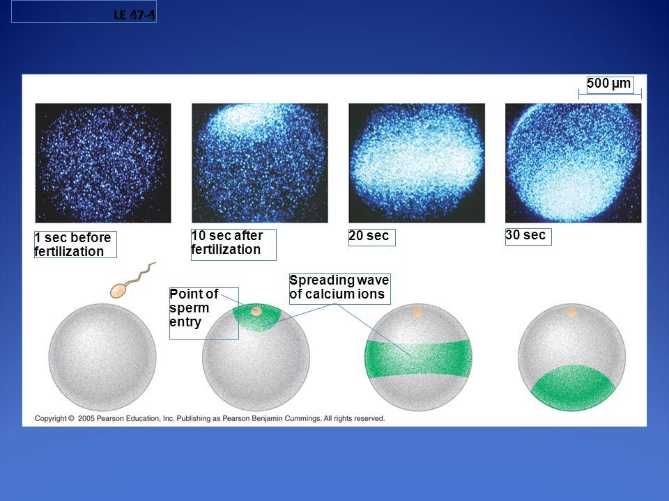1 sec before fertilization Point of sperm entry 10 sec after fertilization Spreading wave of calcium ions 20 sec 30 sec 500 µm