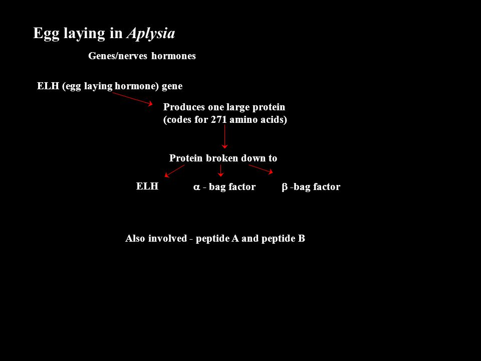 Egg laying in Aplysia Genes/nerves hormones ELH (egg laying hormone) gene Produces one large protein (codes for 271 amino acids) Protein broken down t