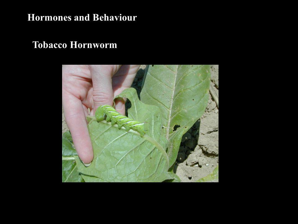 Hormones and Behaviour Tobacco Hornworm