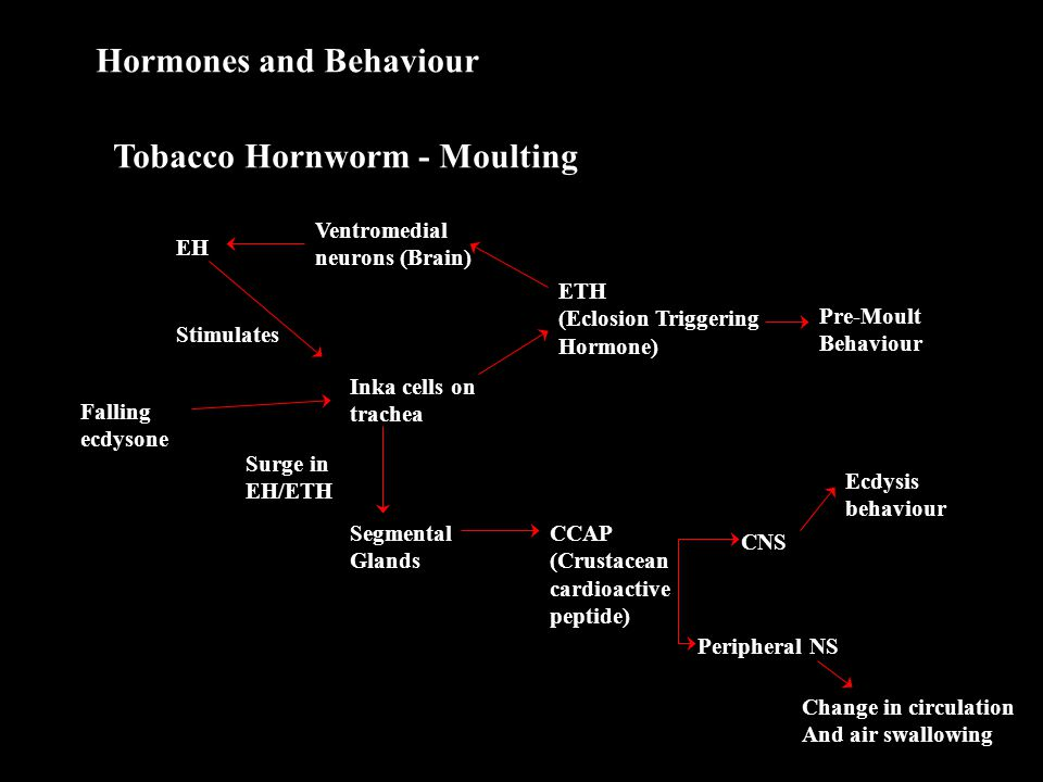 Hormones and Behaviour Tobacco Hornworm - Moulting EH Stimulates Ventromedial neurons (Brain) ETH (Eclosion Triggering Hormone) Inka cells on trachea