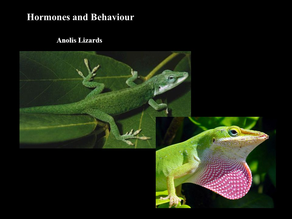 Hormones and Behaviour Anolis Lizards 1. Surgical Studies