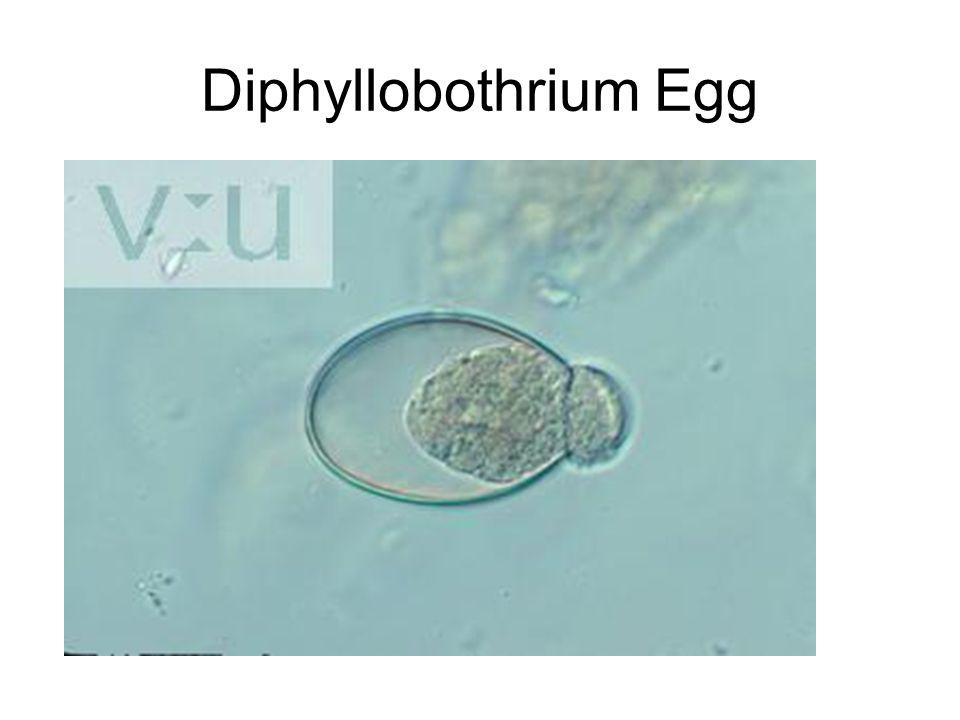 Diphyllobothrium Egg