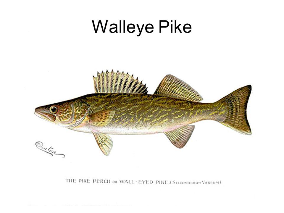 Walleye Pike