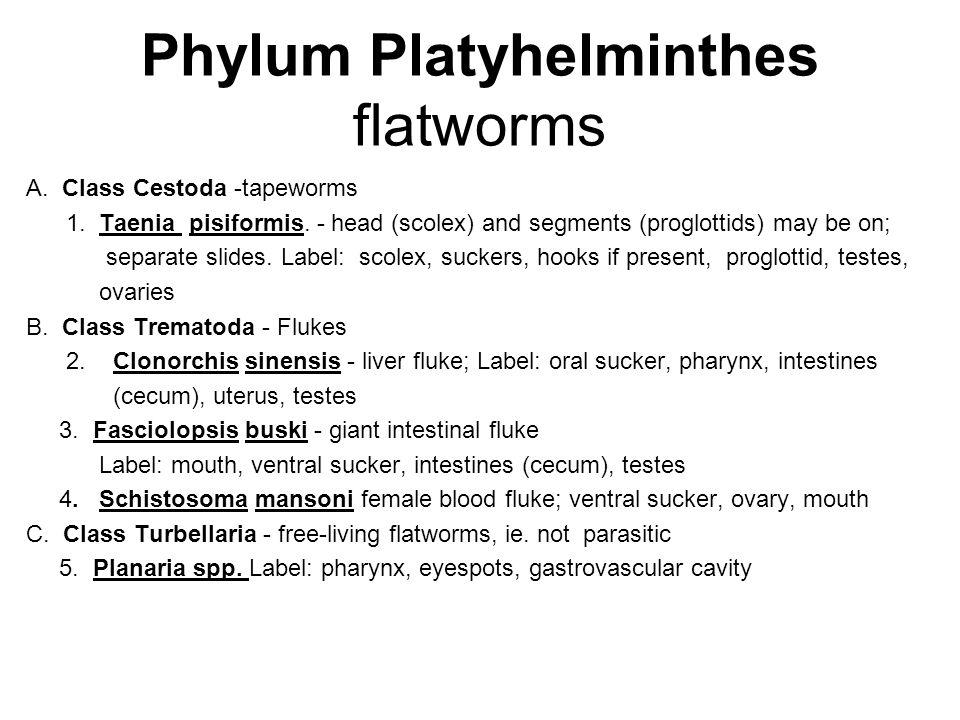 Phylum Platyhelminthes flatworms A. Class Cestoda -tapeworms 1. Taenia pisiformis. - head (scolex) and segments (proglottids) may be on; separate sli