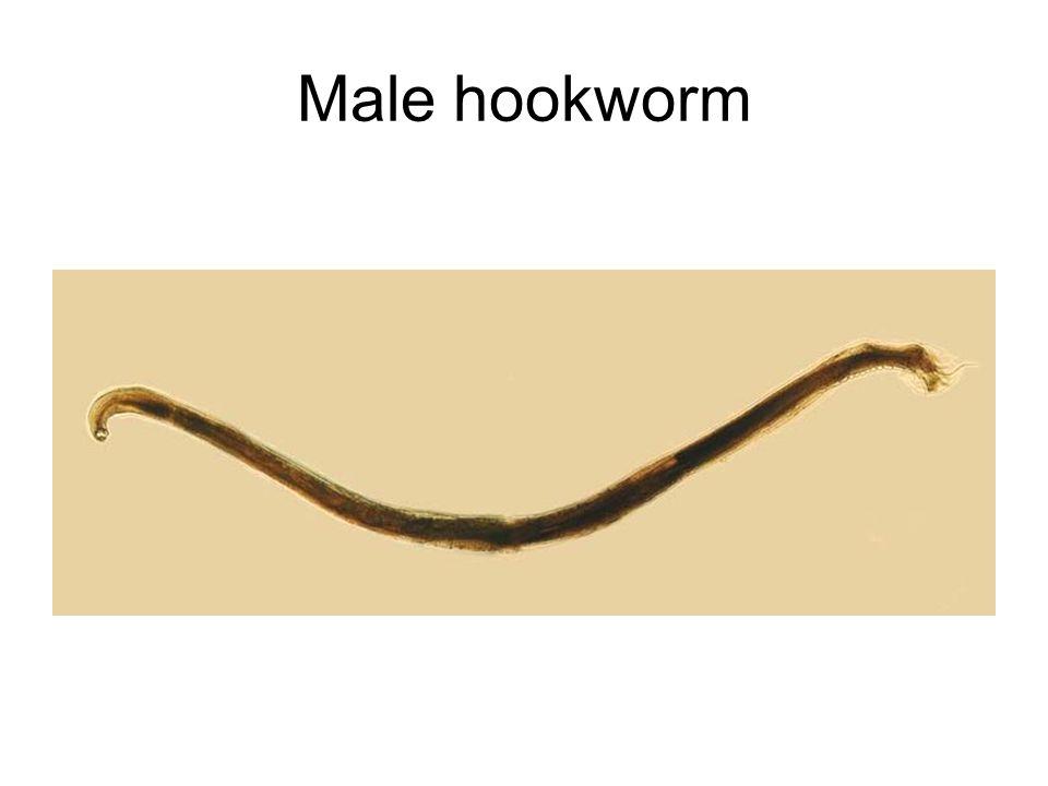 Male hookworm