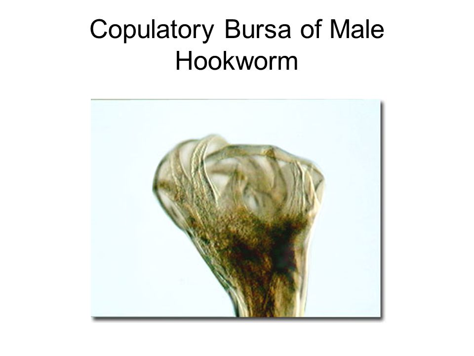 Copulatory Bursa of Male Hookworm