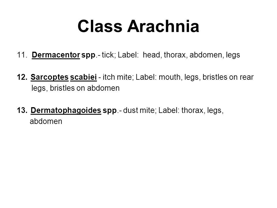 Class Arachnia 11. Dermacentor spp.- tick; Label: head, thorax, abdomen, legs 12.Sarcoptes scabiei - itch mite; Label: mouth, legs, bristles on rear l