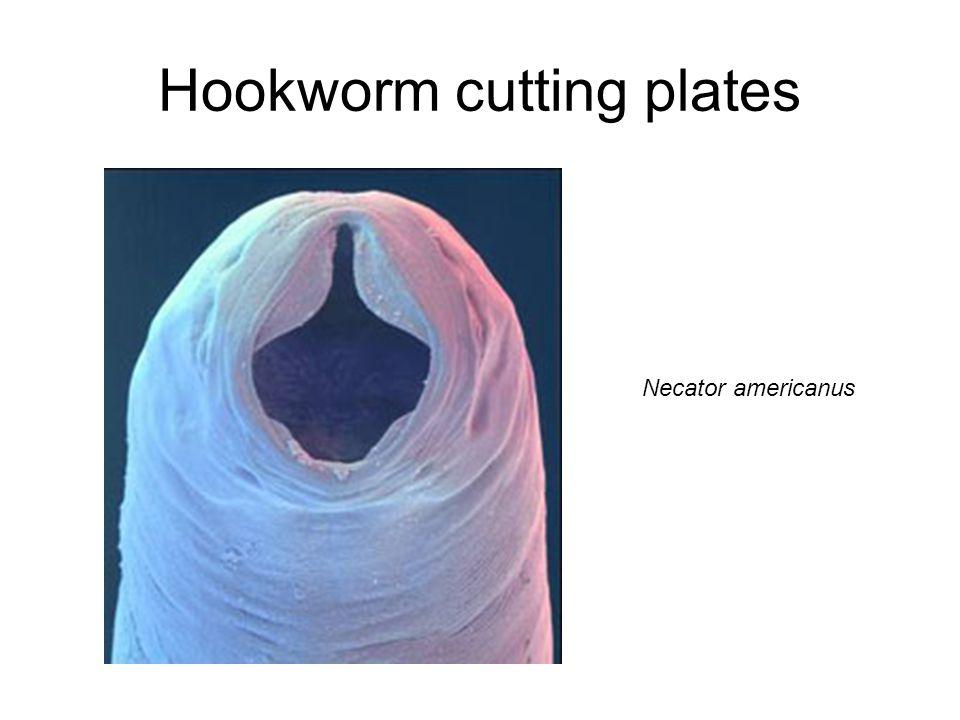 Hookworm cutting plates Necator americanus