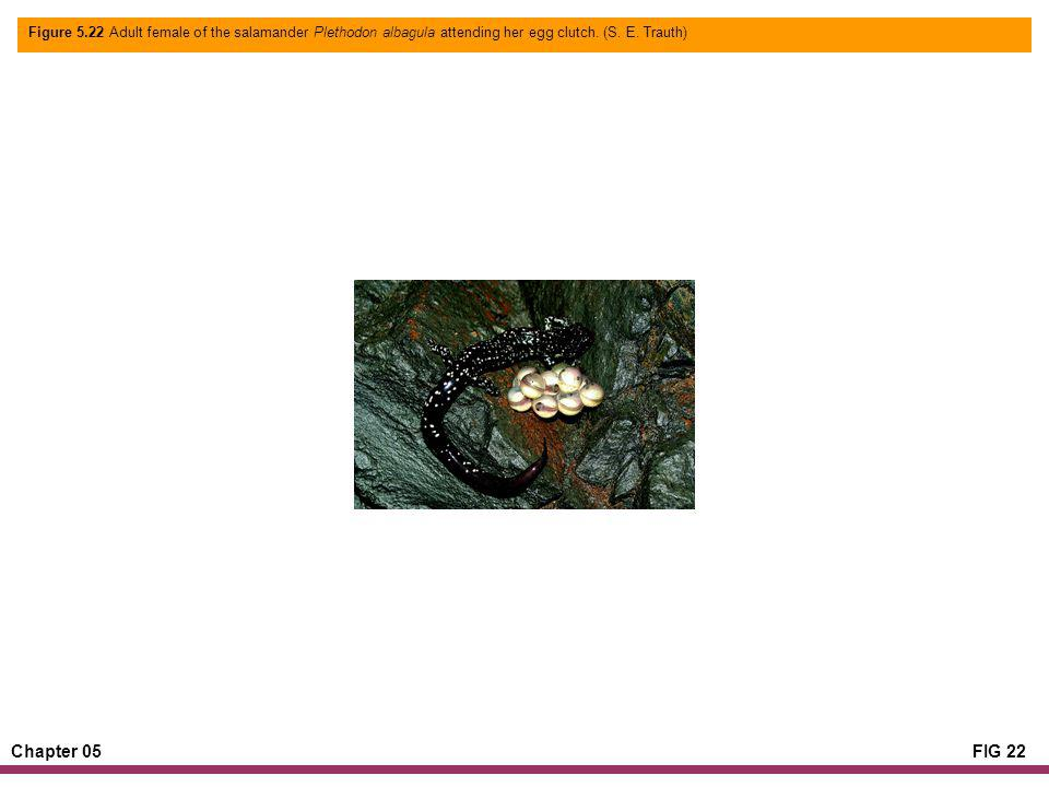 Chapter 05FIG 22 Figure 5.22 Adult female of the salamander Plethodon albagula attending her egg clutch.