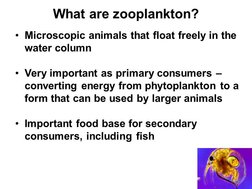 Major groups of freshwater zooplankton Rotifers Cladocerans Copepods