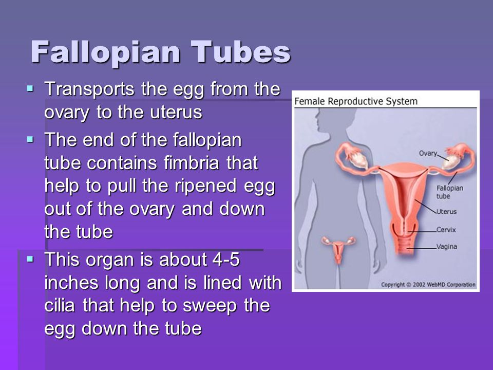 Fallopian Tubes Transports the egg from the ovary to the uterus Transports the egg from the ovary to the uterus The end of the fallopian tube contains fimbria that help to pull the ripened egg out of the ovary and down the tube The end of the fallopian tube contains fimbria that help to pull the ripened egg out of the ovary and down the tube This organ is about 4-5 inches long and is lined with cilia that help to sweep the egg down the tube This organ is about 4-5 inches long and is lined with cilia that help to sweep the egg down the tube