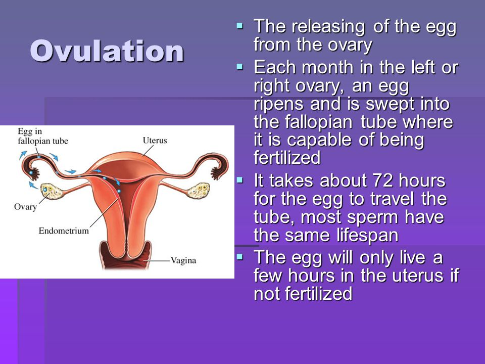 Ovulation The releasing of the egg from the ovary The releasing of the egg from the ovary Each month in the left or right ovary, an egg ripens and is swept into the fallopian tube where it is capable of being fertilized Each month in the left or right ovary, an egg ripens and is swept into the fallopian tube where it is capable of being fertilized It takes about 72 hours for the egg to travel the tube, most sperm have the same lifespan It takes about 72 hours for the egg to travel the tube, most sperm have the same lifespan The egg will only live a few hours in the uterus if not fertilized The egg will only live a few hours in the uterus if not fertilized