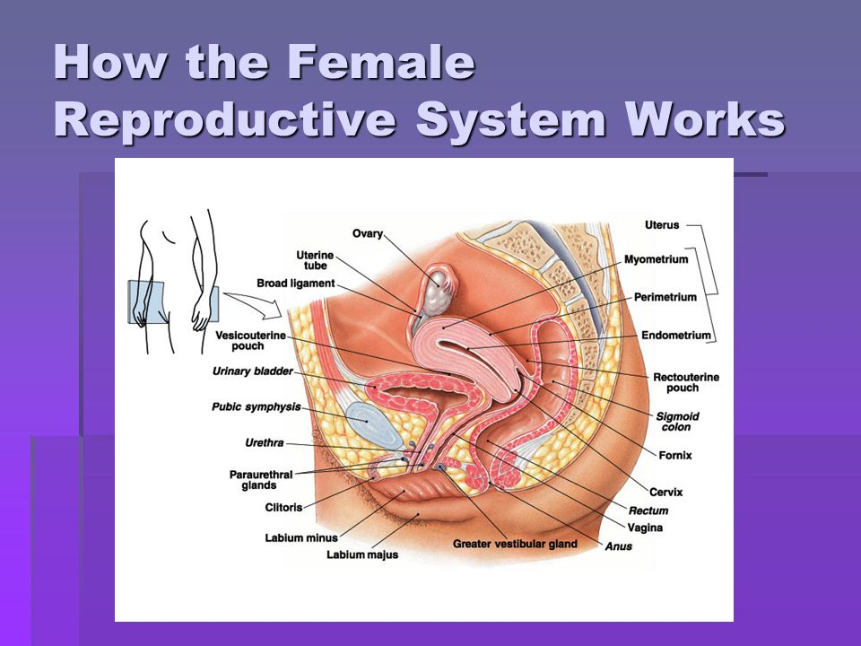 How the Female Reproductive System Works
