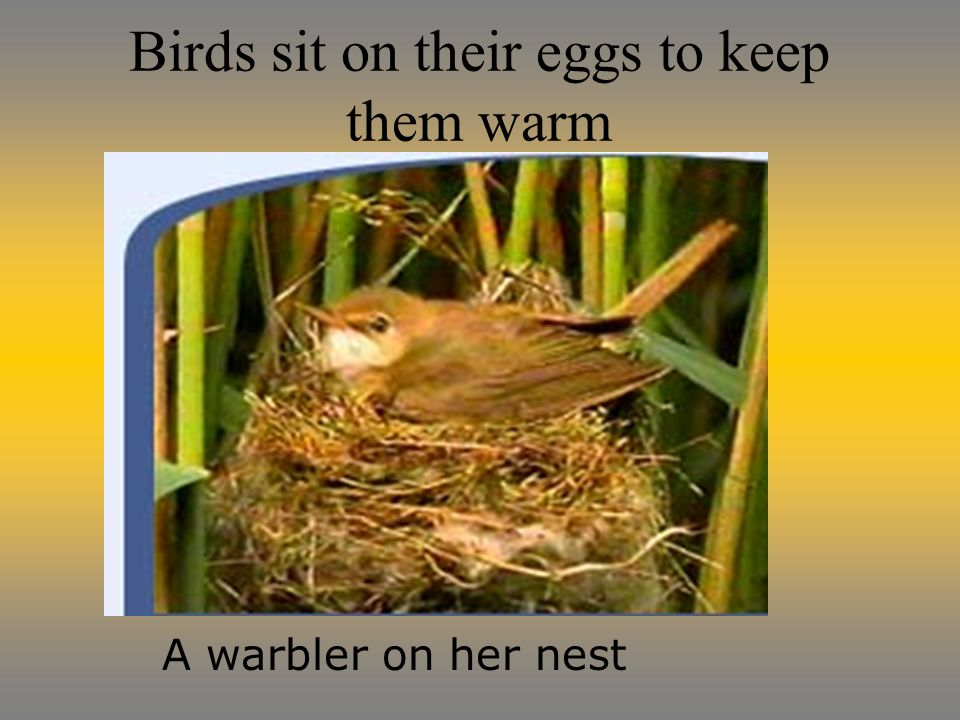 Birds sit on their eggs to keep them warm A warbler on her nest
