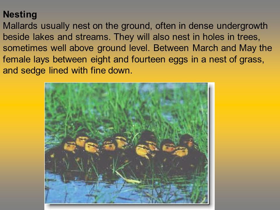 Nesting Mallards usually nest on the ground, often in dense undergrowth beside lakes and streams.