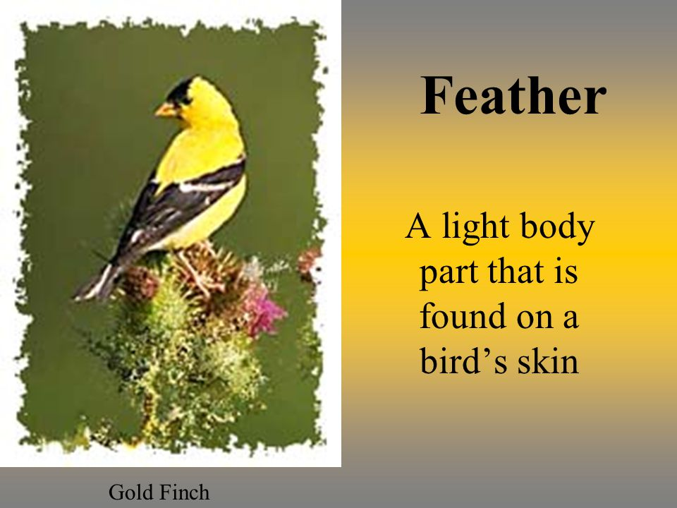 Feather A light body part that is found on a birds skin Gold Finch