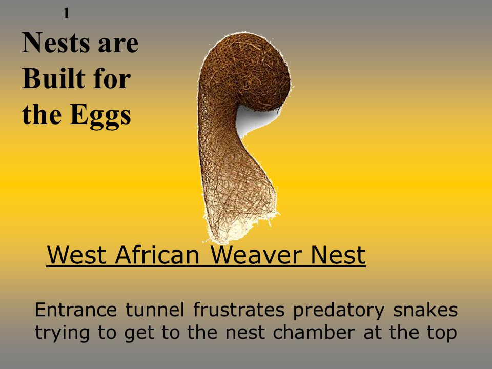 Nests are Built for the Eggs West African Weaver Nest Entrance tunnel frustrates predatory snakes trying to get to the nest chamber at the top 1
