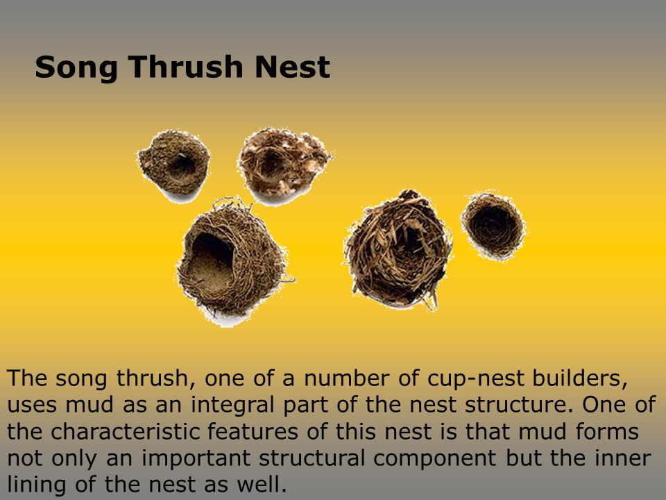 The song thrush, one of a number of cup-nest builders, uses mud as an integral part of the nest structure.