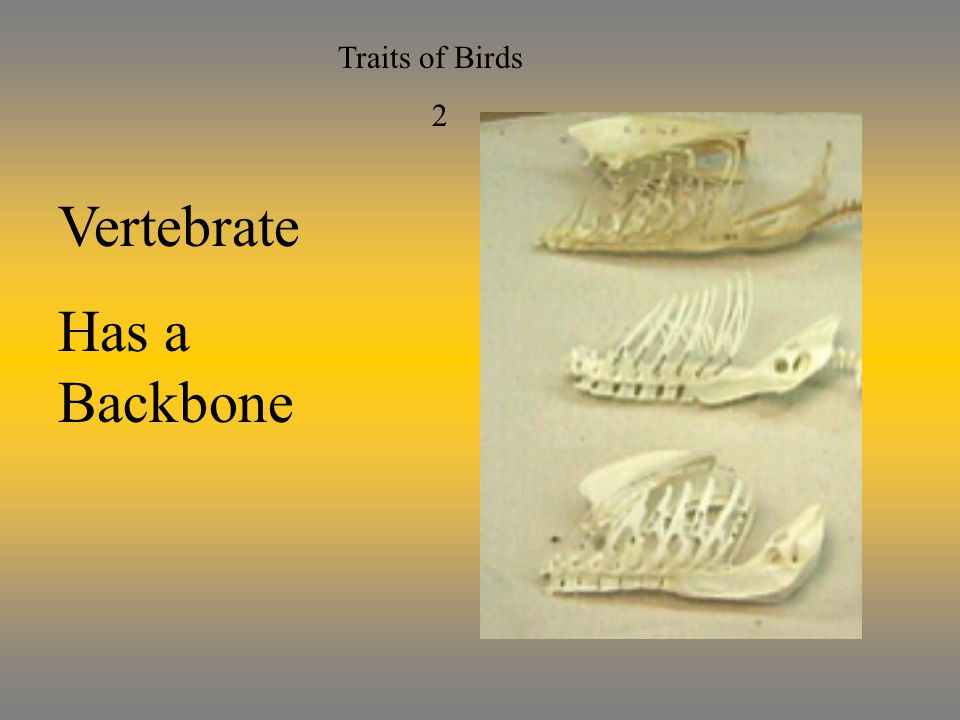 Traits of Birds 2 Vertebrate Has a Backbone