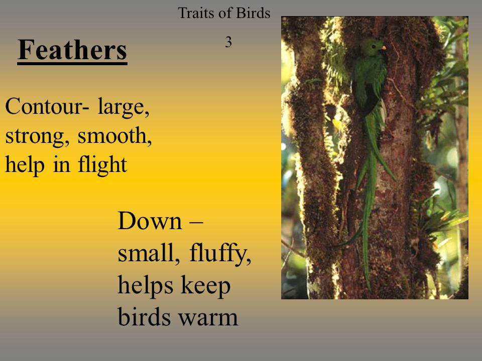 Traits of Birds 3 Feathers Contour- large, strong, smooth, help in flight Down – small, fluffy, helps keep birds warm