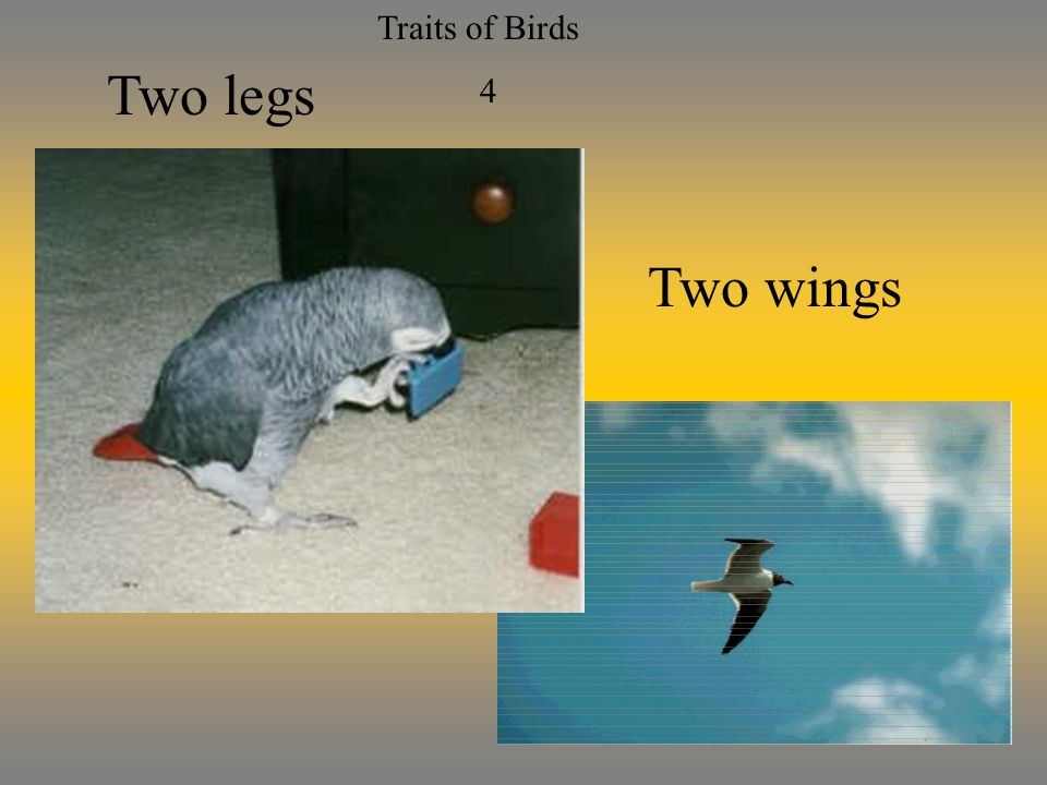 Traits of Birds 4 Two legs Two wings