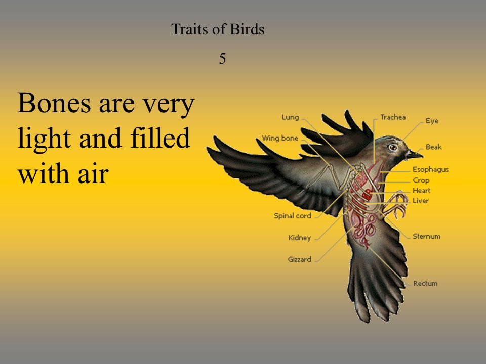 Traits of Birds 5 Bones are very light and filled with air