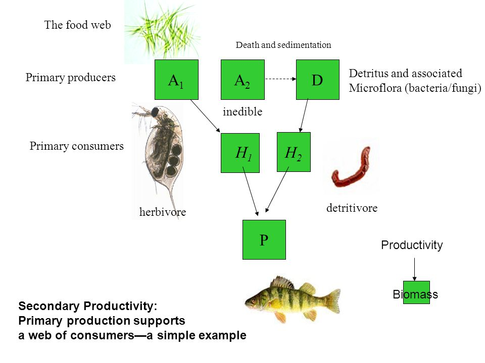 A2A2 H1H1 H2H2 The food web Primary producers Primary consumers D Detritus and associated Microflora (bacteria/fungi) P Death and sedimentation herbivore detritivore A1A1 inedible Secondary Productivity: Primary production supports a web of consumersa simple example Productivity Biomass