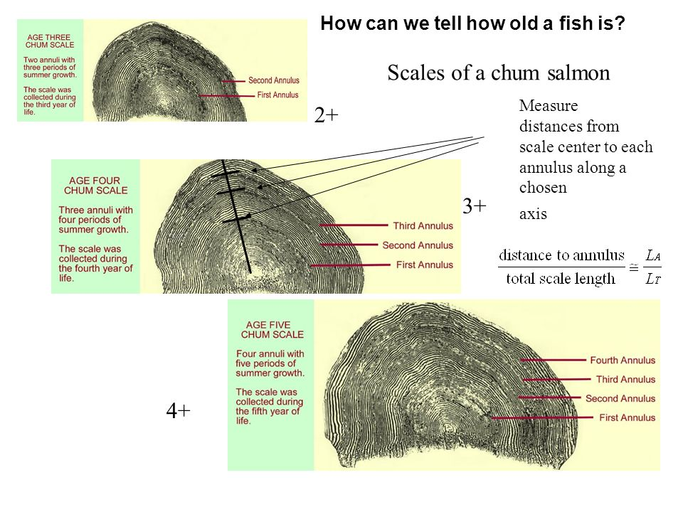 Scales of a chum salmon 2+ 3+ 4+ Measure distances from scale center to each annulus along a chosen axis How can we tell how old a fish is
