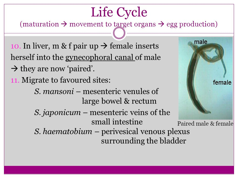 10. In liver, m & f pair up female inserts herself into the gynecophoral canal of male they are now paired. 11. Migrate to favoured sites: S. mansoni
