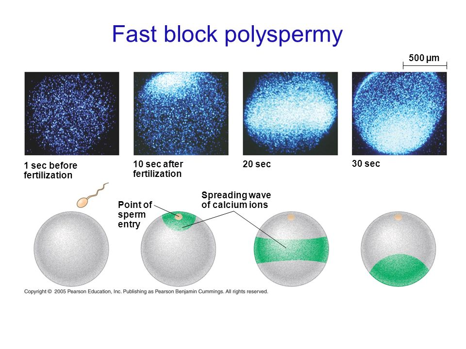 Fast block polyspermy 1 sec before fertilization Point of sperm entry 10 sec after fertilization Spreading wave of calcium ions 20 sec 30 sec 500 µm
