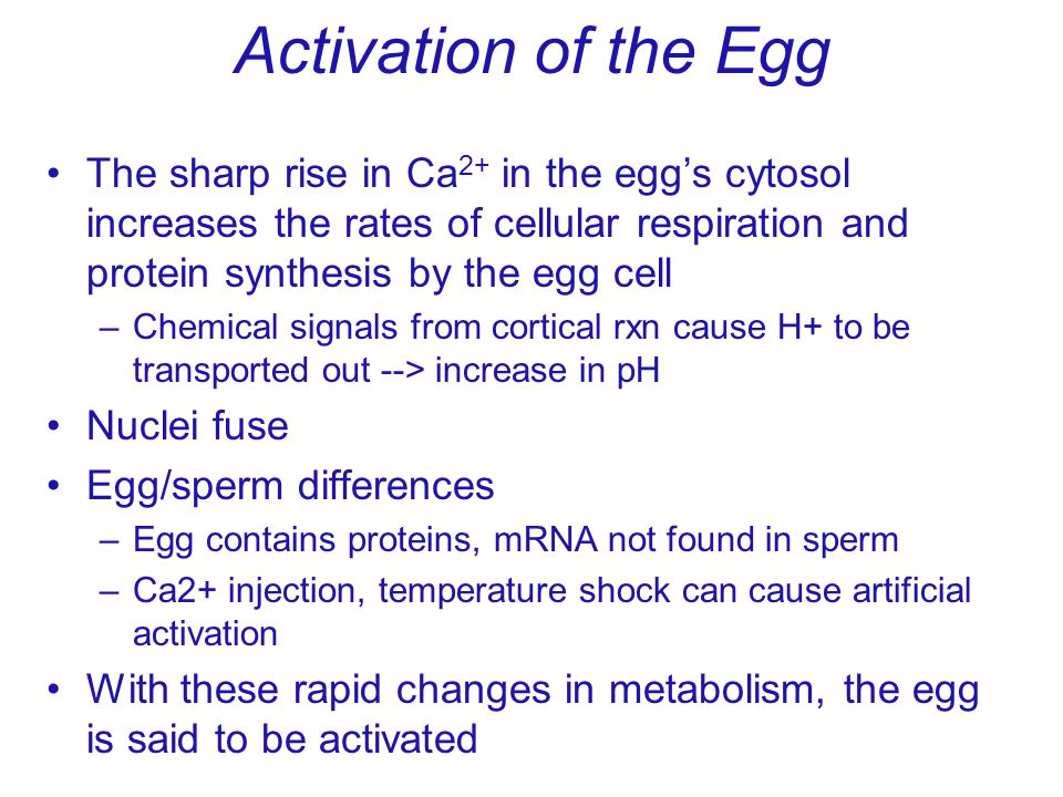 Activation of the Egg The sharp rise in Ca 2+ in the eggs cytosol increases the rates of cellular respiration and protein synthesis by the egg cell –C