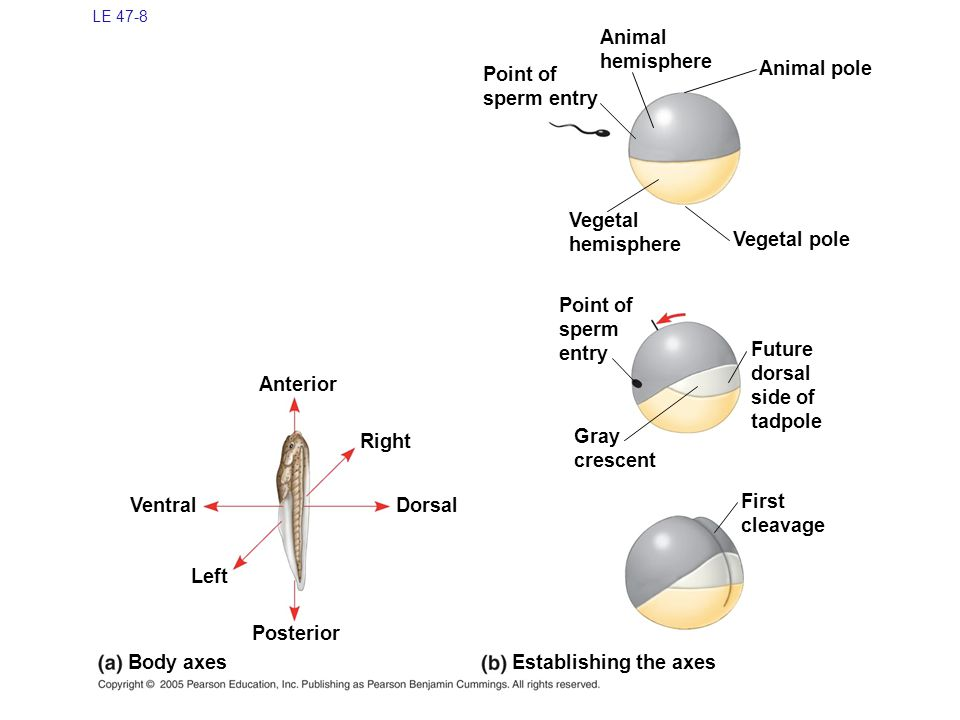 LE 47-8 Anterior Right Animal pole Gray crescent Dorsal Ventral Left Posterior Body axes Establishing the axes Future dorsal side of tadpole Point of