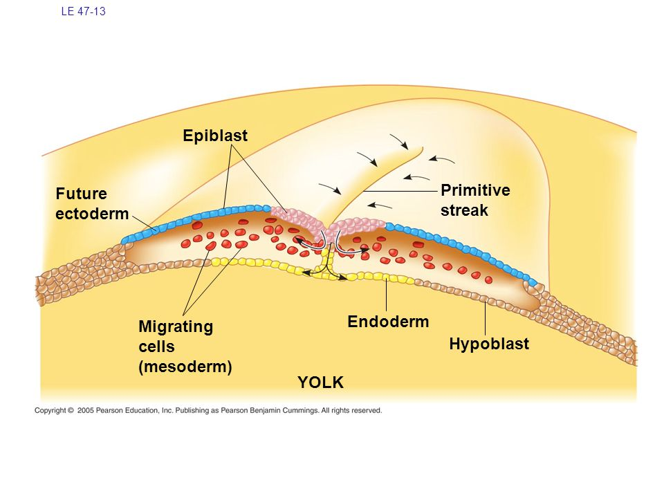 LE 47-13 Future ectoderm Epiblast Migrating cells (mesoderm) YOLK Hypoblast Endoderm Primitive streak
