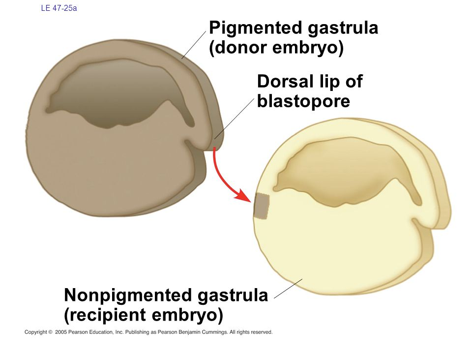 LE 47-25a Nonpigmented gastrula (recipient embryo) Pigmented gastrula (donor embryo) Dorsal lip of blastopore