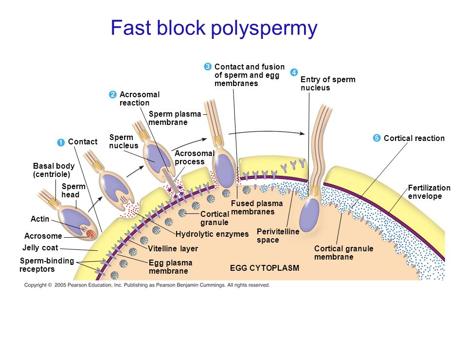 Fast block polyspermy Sperm-binding receptors Jelly coat Acrosome Actin Sperm head Basal body (centriole) Sperm plasma membrane Sperm nucleus Contact