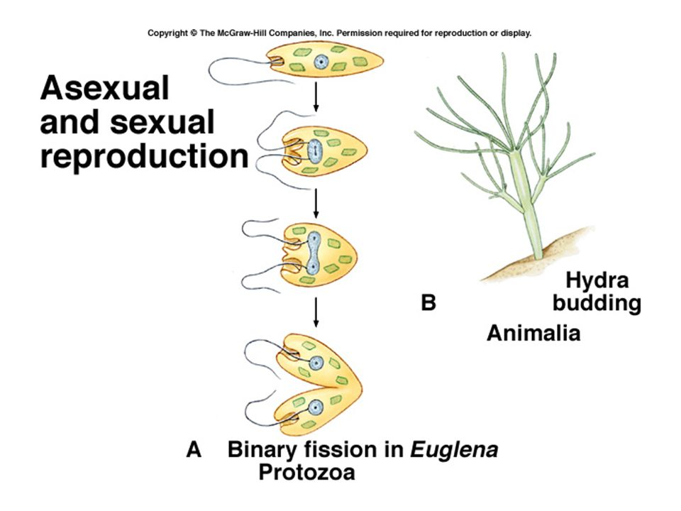 Sexual vs asexual reproduction Asexual more energy-efficient May be advantageous if environment is stable Otherwise diversity provided by sexual reproduction is advantageous