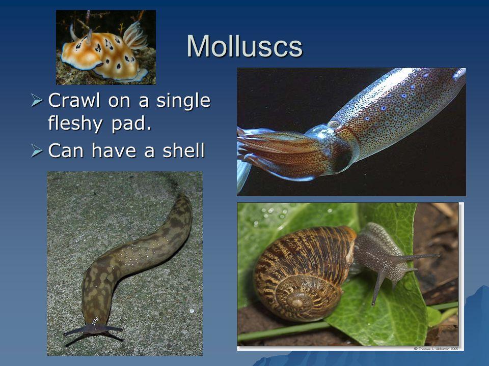 Molluscs Crawl on a single fleshy pad. Crawl on a single fleshy pad. Can have a shell Can have a shell
