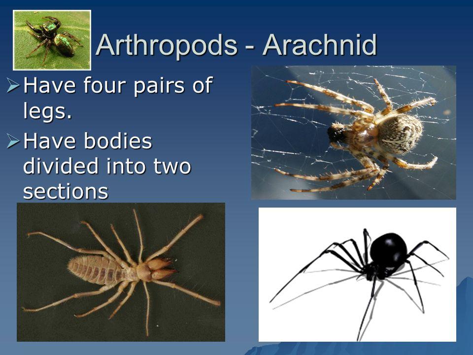 Arthropods - Arachnid Have four pairs of legs. Have four pairs of legs. Have bodies divided into two sections Have bodies divided into two sections