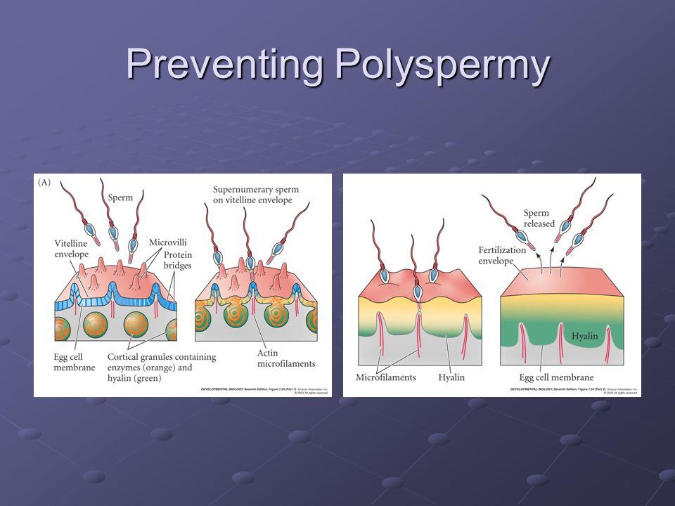 Preventing Polyspermy