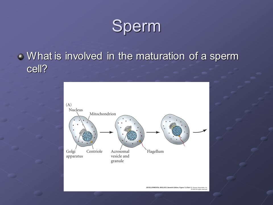Sperm What is involved in the maturation of a sperm cell?